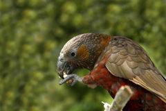 papagaio-de-kaka-16124174.jpg